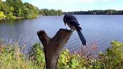 Blue Jay in slow motion tries hard to pry loose a nut by a lake. Stock Footage