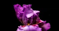 Blooming Giant Purple Iris Flower Stock Footage