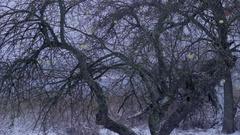 Winter orchard, apple-tree Stock Footage