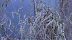 Reed in winter wind Stock Footage