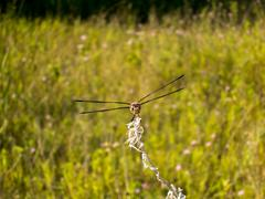 Four-spotted Skimmer dragonfly close up. Stock Photos