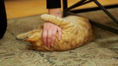 Woman Stroking a Red Cat Lying on the Carpet Stock Footage