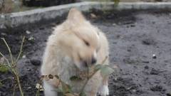Small yellow dog gnaws stem roses Stock Footage