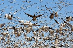 Migrating Snow Geese Take Flight Stock Photos