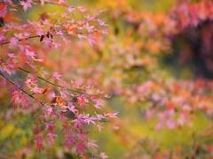 Footage of Autumn foliage in the woods of Okutama, Tokyo, Japan Stock Footage