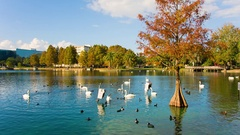 White swans in the Eola lake and park Stock Footage