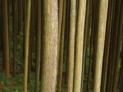 Japanese cedar trees in the woods of Okutama, Tokyo, Japan Stock Footage
