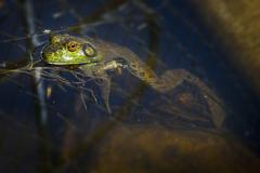 Bull Frog waiting on the surface for bugs Stock Photos