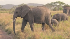 CLOSE UP: Mother with baby elephants crossing dusty road in safari game reserve Stock Footage