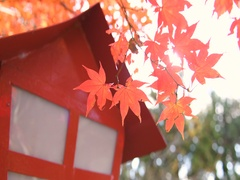 Autumn leaves at Arakura Sengen shrine park in the morning, Yamanashi Stock Footage