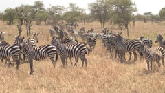 CLOSE UP: Big harem of curious wild zebras running on vast African savannah Stock Footage
