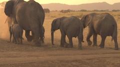 CLOSE UP: Herd of elephants raising dust when roaming through savannah desert Stock Footage