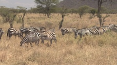 CLOSE UP: Big group of wild zebras pasturing on grass in arid African savannah Stock Footage