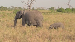 CLOSE UP: Adorable mother leading baby elephant through vast savannah grassland Stock Footage