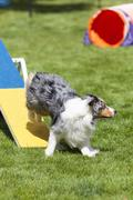 Agility Dog running off of see saw teeter totter Stock Photos