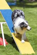 Agility Dog on See-Saw or Teeter Totter Stock Photos