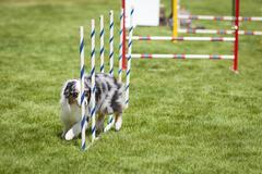 Agility Dog doing weave poles slalom Stock Photos
