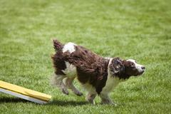Agility Dog running off of See Saw Teeter plank. Stock Photos