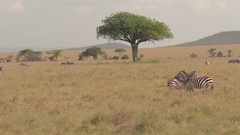 AERIAL: Zebras spread across meadow field pasturing and resting in tree shade Stock Footage
