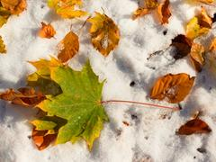 Fallen green and orange dry maple leaf and  beech leaf on snow. Kuvituskuvat