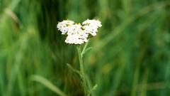 Yarrow with a beetle on it. Achillea millefolium Stock Footage