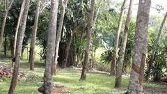 Rubber tree garden in Thailand Stock Footage