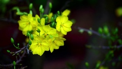 Apricot blossom tree Stock Footage