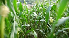 Man goes through a field of green corn just outside the village Stock Footage