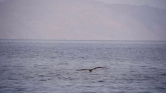 Sea Bird Osprey flying over the Red Sea Stock Footage