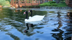 Gracious couple of two black necked swans in pond Stock Footage