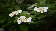 Arrowwood or viburnum bush blossoming in spring Stock Footage