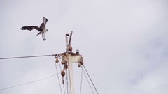 Marine Osprey Bird Landing on a Ship Mast. Slow Motion Stock Footage