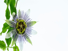 Beautiful Passion Flower Vine Blooming Stock Footage