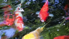 Japanese Carp Swarm in pond Stock Footage