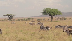 AERIAL: Big zebra family spread across African savannah field grazing on meadow Stock Footage