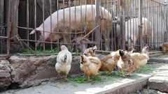 Chickens and pigs eating grass and corn in the country yard Stock Footage