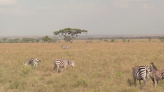 CLOSE UP: Herd of zebras grazing in open grassland scenery in African wilderness Stock Footage