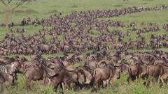 Serengeti Wildebeests migration Stock Footage