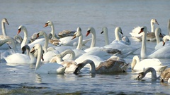 Flock of Swans. Stock Footage