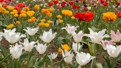 Beautiful multicolor tulips closeup. Slider footage Stock Footage