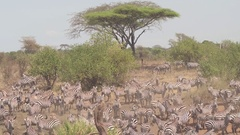 CLOSE UP: Cute zebras jostling on arid dusty glide in savannah woodland forest Stock Footage