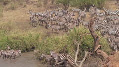 CLOSE UP: Zebras bathing and chilling in muddy lake in African savannah woodland Stock Footage