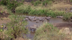 AERIAL: Wild zebras bathing, drinking from mud river and playing on riverbed Stock Footage