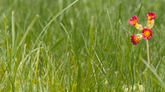 One small red flower in the grass Stock Footage