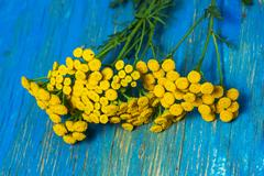 Tansy flower buttons on a blue background Stock Photos