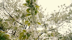 Beautiful big tree with white flowers,slow motion Stock Footage