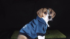 4k Shot of a Beagle Puppy Dog Seating with Hoodie Stock Footage