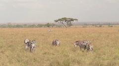 CLOSE UP: Baby zebra in mother's shelter pasturing on grass on Serengeti plains Stock Footage