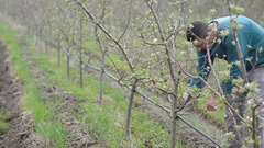 Pruning young fruit trees with garden shears Stock Footage