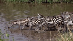 CLOSE UP: Carefree zebras coming to the lake drinking water in rural landscape Stock Footage